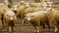Tarım Bakanlığından Koyun ve Maaş Müjdesi! İşte Detaylar!